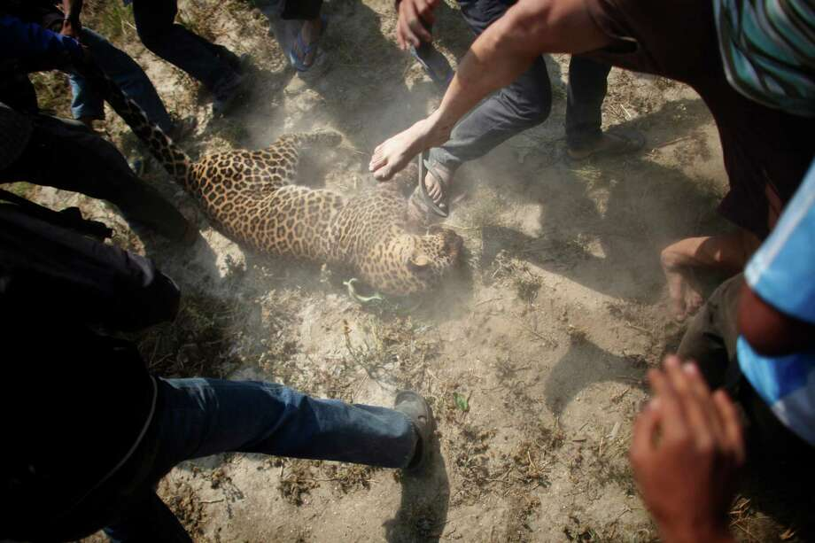 Nepalese people stomp a dead leopard at Gothatar, Katmandu, Nepal, Wednesday, April 10, 2013. According to reports, the leopard injured 15 people, including three policemen and two officials from the Department of Forest. The leopard was later killed with the help of Nepalese policemen and local media people. Photo: AP