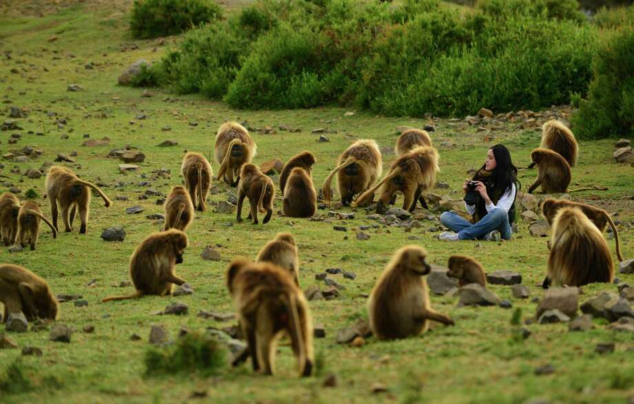"A tourist watches Gelada baboons  in the Simien Mountains of Ethiopia in this November 30 2012 picture. Scientists quoted in the journal Current Biology Tuesday April 9 2013  believe that the friendly lip-smacks made by Geladas, that only live in the remote mountains of Ethiopia,  show striking similarities with human speech and may be an evolutionary step towards it. ""Our finding provides support for the lip-smacking origins of speech because it shows that this evolutionary pathway is plausible,"" said lead scientist Prof Thore Bergman, from the University of Michigan in Ann Arbor, US. Photo: AP"