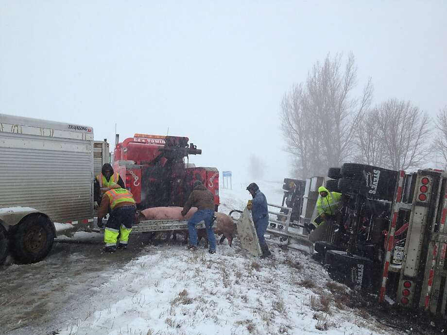 Authorities round up pigs along Interstate 94 near Barnesville, Minn., Sunday, April 14, 2013 after a crash involving three semitrailers. (AP Photo/Sgt. Jesse Grabow, Minnesota State Patrol) Photo: Associated Press
