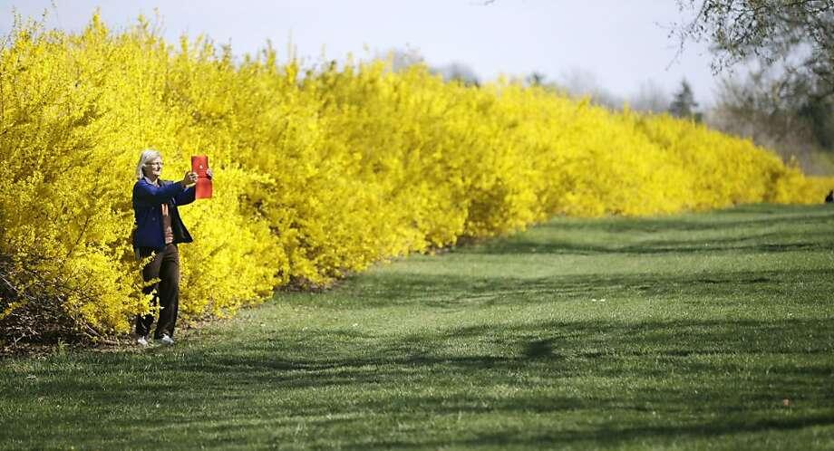 Linda Telese takes a photograph along a row of Forsythia bushes near Princeton, N.J., Sunday, April 14, 2013. (AP Photo/Mel Evans) Photo: Mel Evans, Associated Press