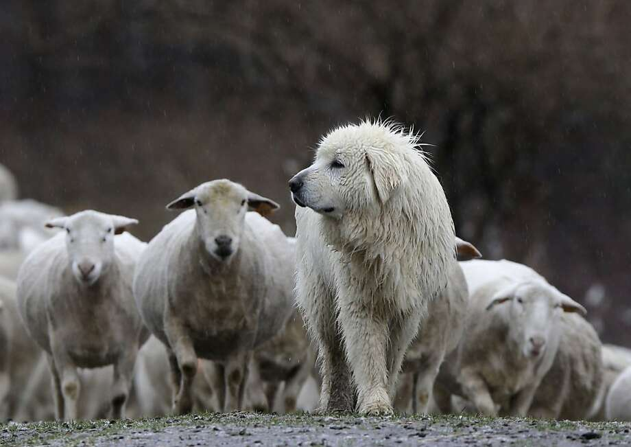 How come HE didn't get sheared like the rest of us? A Maremma guards his flock from coyotes and other predators at Kinderhook Farm in Ghent, N.Y. Photo: Mike Groll, Associated Press