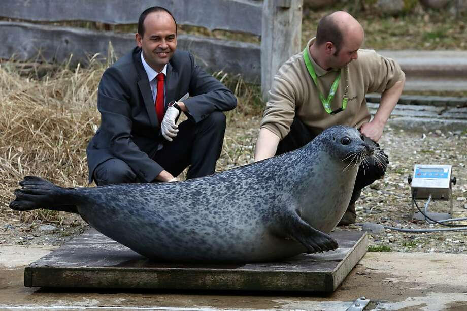 Pleasingly plump: Keeper Lars Purbst (right) and Thomas Metzke of the sponsoring OstseeSparkasse bank help Susanne onto a scale at the zoo in Rostock, Germany. She weighs about the same as the average NFL tailback. Photo: Bernd Wuestneck, AFP/Getty Images