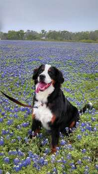 Bear the Bernese mountain dog by Lisa Vavricka. Photo: Reader Submission