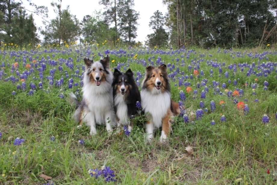 Three dogs in the bluebonnets. Photo: Reader Submission