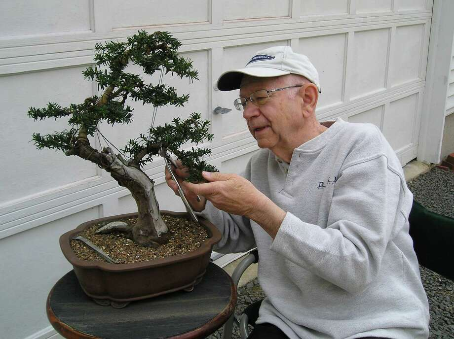 "Norm Geisinger, of New Fairfield, applies wiring to his bonsai tree -- a technique that allows the designer to create a desired general form and make detailed branch and leaf placements. Geisinger's work is on view in ""The Art of Bonsai"" at the Stamford Museum & Nature Center from Friday, April 26 through Sunday, April 28. Photo: Contributed Photo"