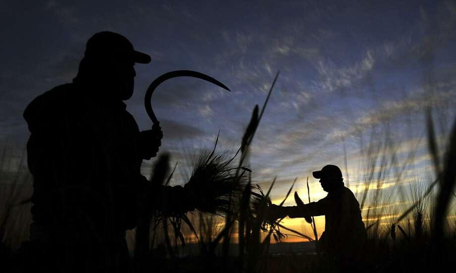 Campesinos cortan trigo en una granja en la ciudad de Jenin, Cisjordania el lunes 15 de abril de 2013. (AP Foto/Mohammed Ballas) Photo: Mohammed Ballas, Associated Press