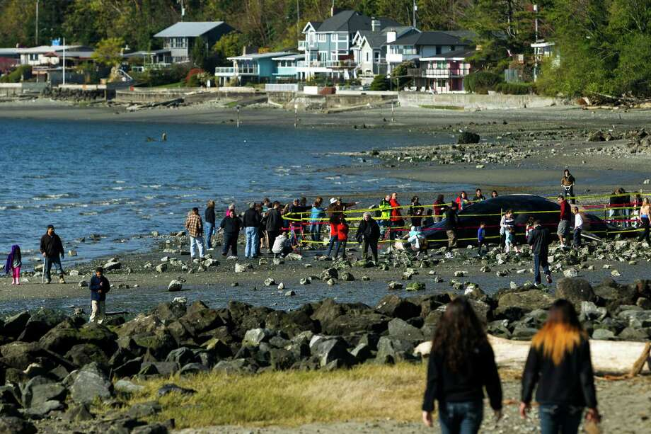 Beachgoers take in the sights of a dead, rare fin whale Monday, April 15, 2013, at Seahurst Park in Burien. After washing up on Saturday, researchers believe a collision with a ship was its cause of death. The area has since been cordoned off to deter people from touching the corpse. Photo: JORDAN STEAD / SEATTLEPI.COM