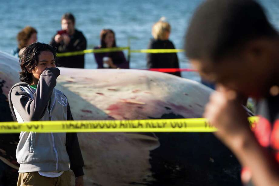 Onlookers attempt to plug their noses against the rotten smell of a dead, rare fin whale Monday, April 15, 2013, at Seahurst Park in Burien. After washing up on Saturday, researchers believe a collision with a ship was its cause of death. The area has since been cordoned off to deter people from touching the corpse. Photo: JORDAN STEAD / SEATTLEPI.COM