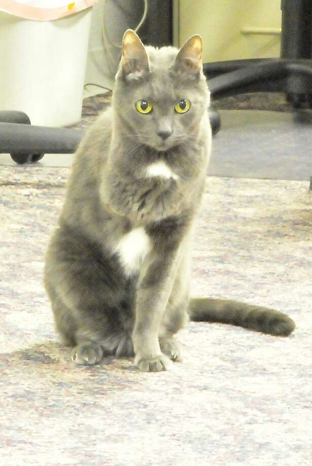 This is my imitation of Napolean: For more than a decade, three-legged Jade has been the official feline of the Lumberton Police Department in Lumberton, Texas. Photo: Cassie Smith, Hardin County News