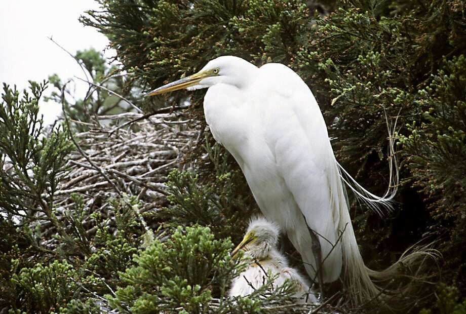 The Martin Griffin Preserve, nesting grounds for migrating egrets and herons Photo: Wyn Hoag/Audubon Canyon Ranch