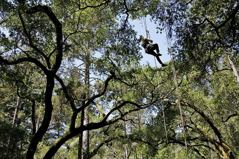 Tour guide Megan Svensson demonstrates the tree-climbing techniques in the Mount Hermon forest canopy. The climbs employ a rope-and-pulley system. Photo: Preston Gannaway, Special To The Chronicle
