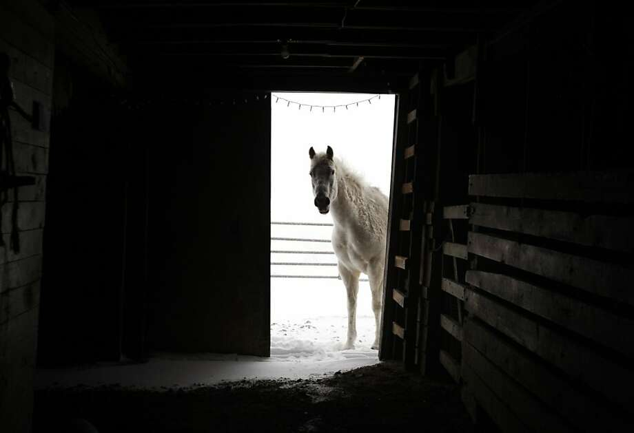 A horse looks through an open barn door before entering for shelter from the spring snow storm at Naomi Burgess' home Tuesday, April 16, 2013 on Garden Creek Road near Casper Mountain in Casper, Wyo. Robert Burke, who is Burgess' nephew, left work in the middle of the day while he was still able to access the horses to give them food and water and make sure the barn was open for them to take shelter. Burke lives with his Aunt and helps her care for her three horses and one Shetland pony. Snow fell heavily in Casper throughout the day on Tuesday and is forecast to continue through Wednesday. (AP Photo/Star-Tribune, Leah Millis) Photo: Leah Millis, Associated Press