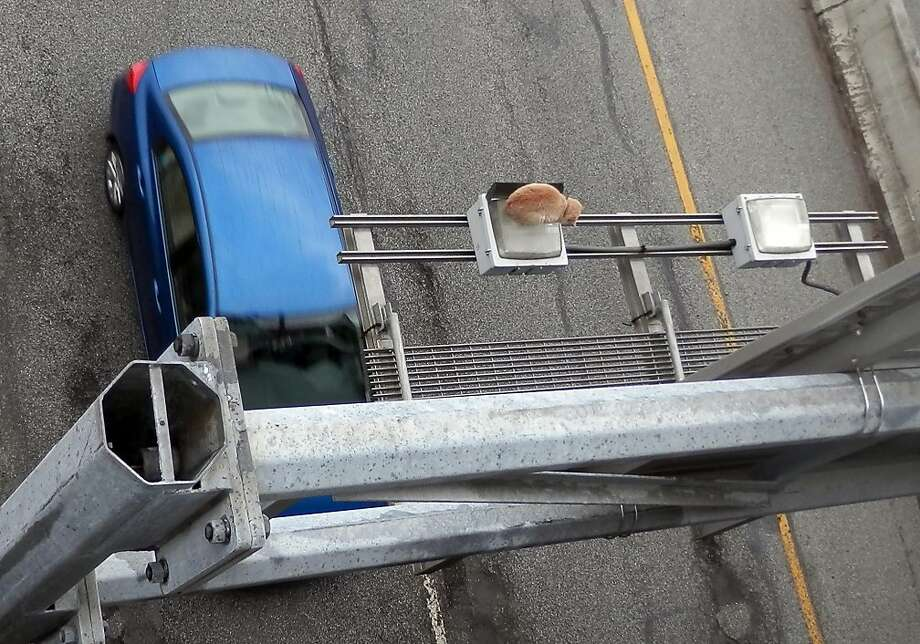 Fur over the freeway:For two days, an orange tabby sat marooned on top of an expressway sign in Elkhart, Ind., no doubt surprising motorists looking for the next exit. Fortunately, he was rescued unharmed and now resides at the Humane Society, which thinks he may have been thrown off an overpass and landed on the sign. Photo: Don Ely, Associated Press