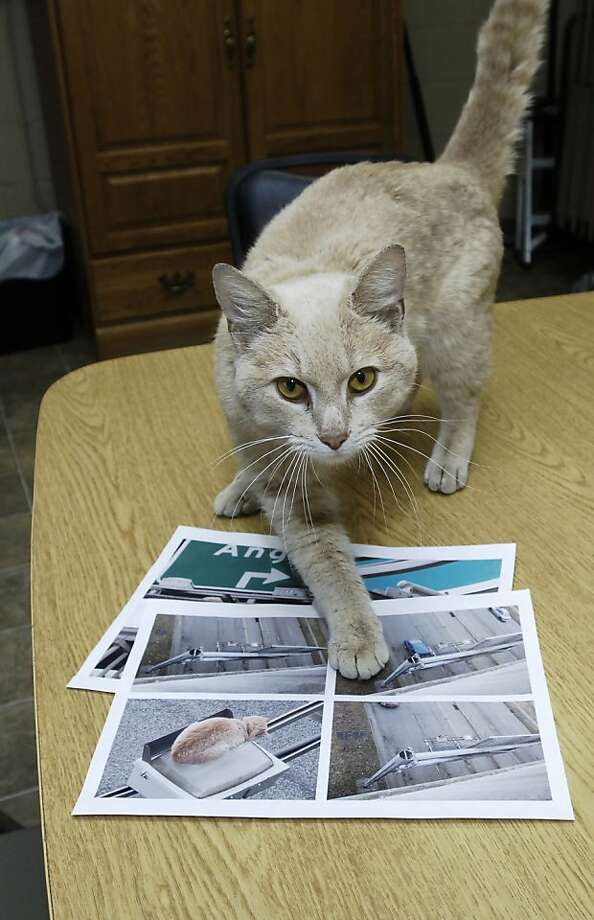 This is me on the sign and this is me on the sign and this is me again ...After being rescued from atop sign over U.S. 20 in Elkhart, Ind., a cat now known as Freeway points at photos of himself at the Humane Society of Elkhart County. It's not known what became of his orange color. Photo: Larry Tebo, Associated Press