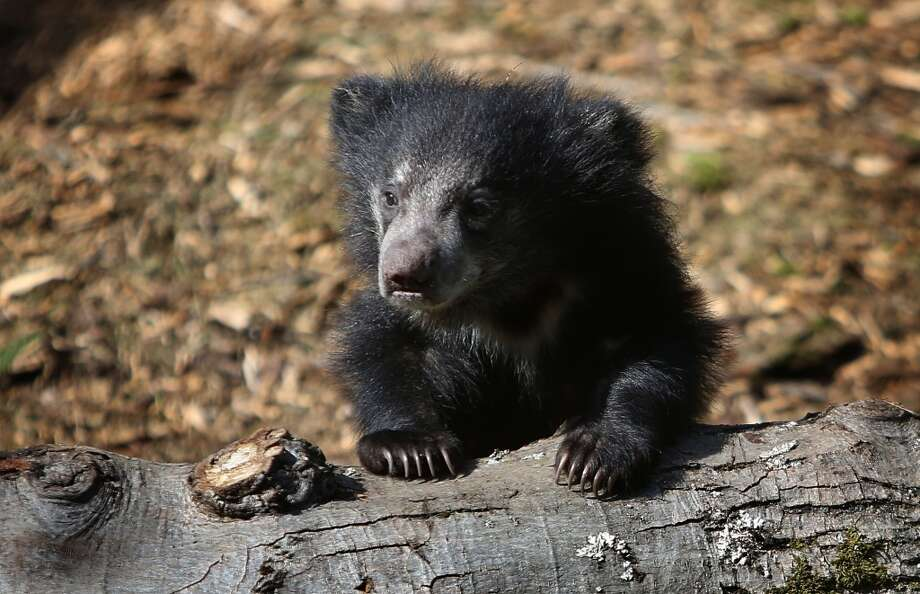 A sloth bear cub explores the enclosure. (Photo by Joshua Trujillo, seattlepi.com)
