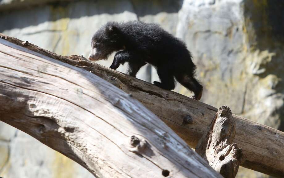A sloth bear cub explores. (Photo by Joshua Trujillo, seattlepi.com)
