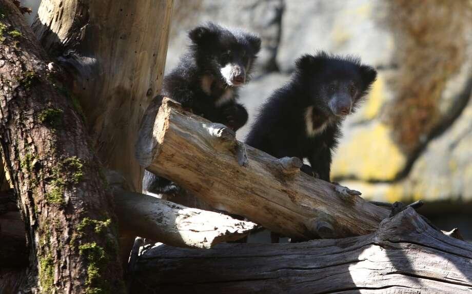 Sloth bear cubs explore their enclosure. (Photo by Joshua Trujillo, seattlepi.com)