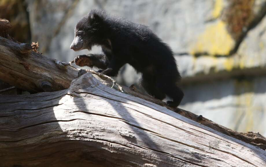 A sloth bear cub explores the enclosure during an introduction session. (Photo by Joshua Trujillo, seattlepi.com)