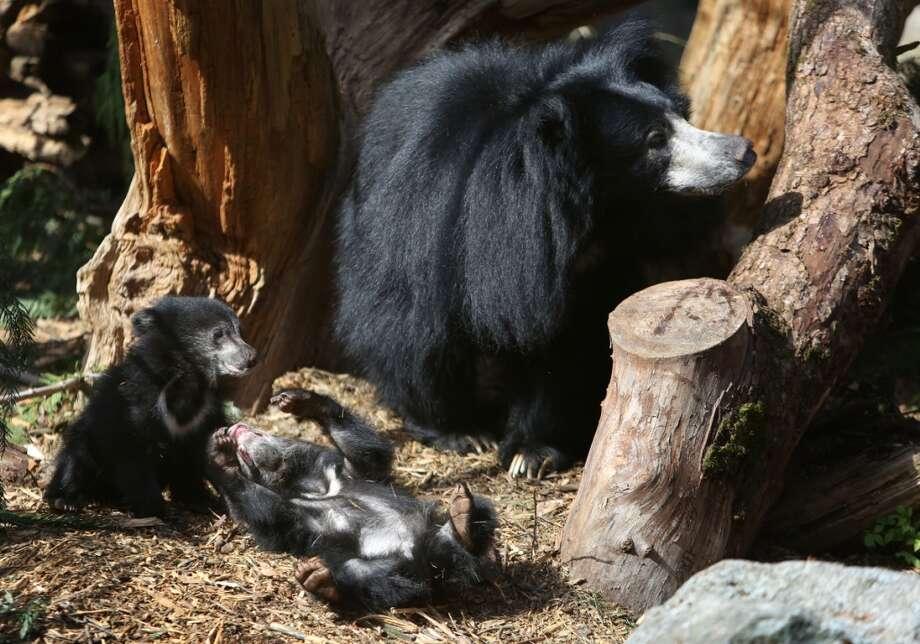 Sloth bear cubs play alongside mom Tasha in their enclosure. (Photo by Joshua Trujillo, seattlepi.com)