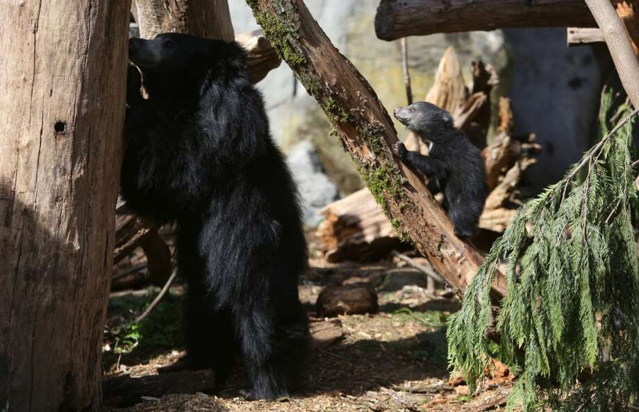 A sloth bear cub explores the enclosure alongside mother Tasha. (Photo by Joshua Trujillo, seattlepi.com)
