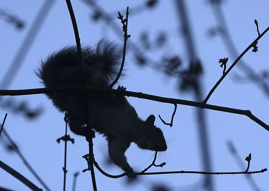 A squirrel feeds on the buds of a boxelder tree on Wednesday, April 17, 2013, in Albany, N.Y. (AP Photo/Mike Groll) Photo: Mike Groll, Associated Press