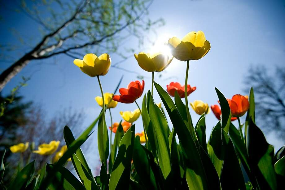 Tulips soak in the spring sunshine at the Plains District Memorial Park in Timberville, Va., Tuesday April 16, 2013.  (AP Photo/Daily News-Record, Nikki Fox) Photo: Nikki Fox, Associated Press
