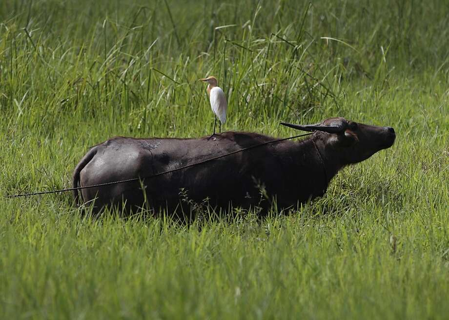 'Although my life has been reduced to wallowing in a mud hole during this heat wave, I have no egrets,' said the water buffalo. But we knew she was lying. (Laguna province, Philippines.) Photo: Aaron Favila, Associated Press