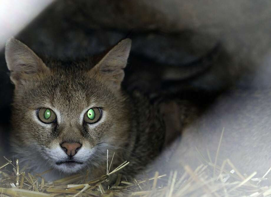 Green-eyed lady: This cat at the Belgrade Zoo is identified as a lynx, although its ear tufts are nearly invisible. Photo: Darko Vojinovic, Associated Press