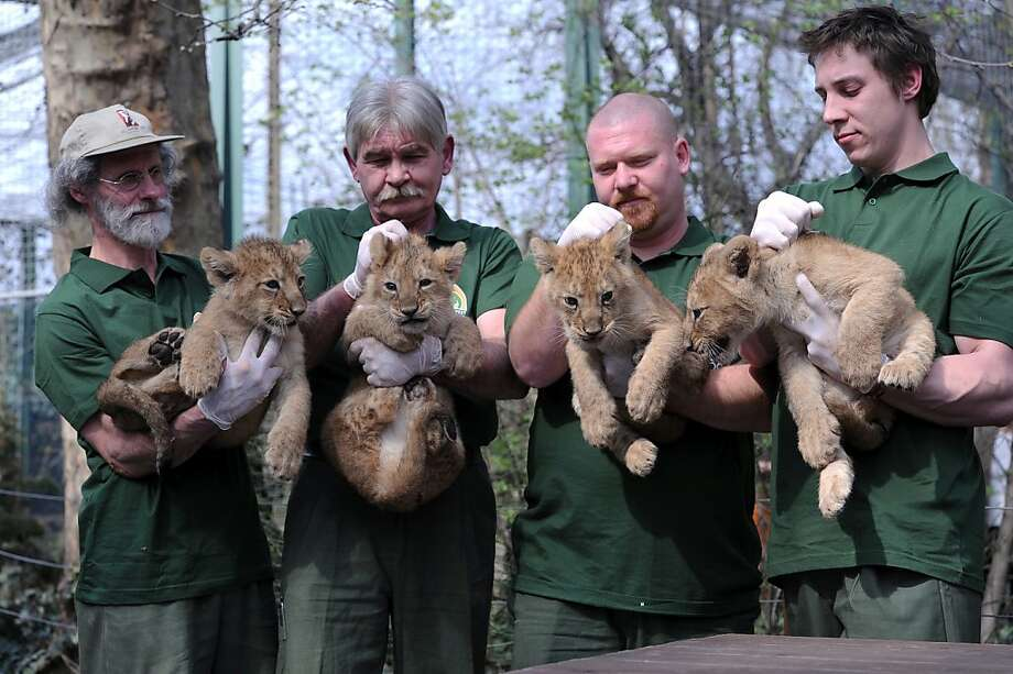 Their cubs runneth over:Keepers need two hands to control rambunctious Asian lion babies during the cats' naming ceremony at the Budapest Zoo and Botanic Garden. Photo: Attila Kisbenedek, AFP/Getty Images
