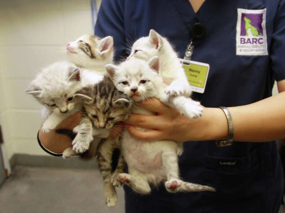 Underage kittens are a popular choice for pets. Photo: BARC
