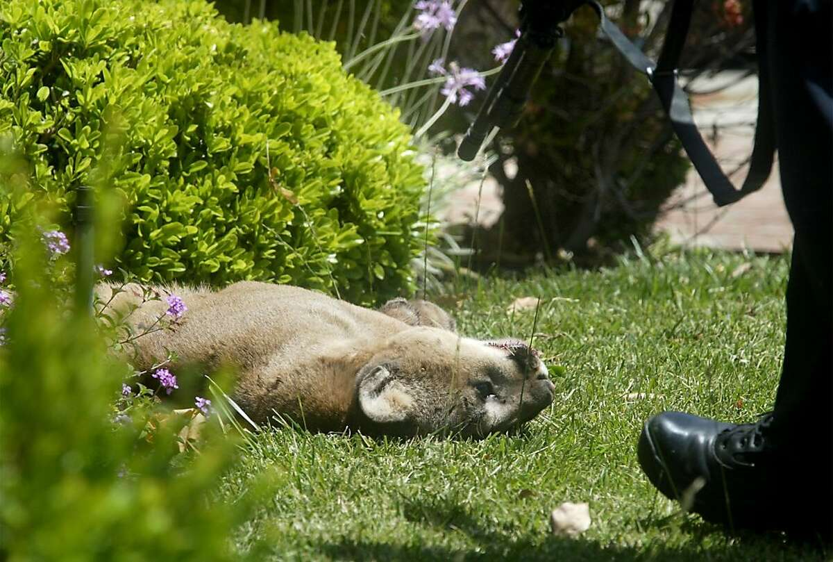Palo Alto police shot and killed a mountain lion in a quiet residential neighborhood here Monday, May 17, 2004. The cougar had been visiting various backyards until it was spotted in a tree near the corner of Walnut and Walter Hays. Police then shot it out of a tree.