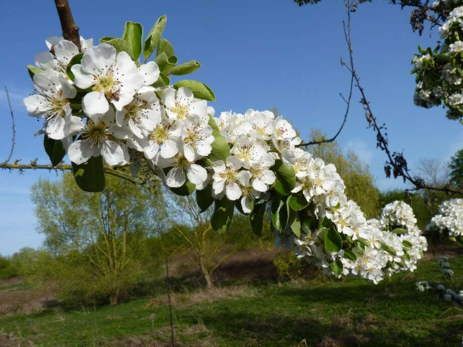 """Now through mid-May, the Blossom Trail in Worcestershire \'s Vale of Evesham is marking its 30th birthday with  50 miles of pink and white flowers on apple, pear, plum, damson and cherry trees. The stretch from the Cotswold village of Broadway to Pershore to the west is said to be the inspiration for \""""A Midsummer Night\'s Dream.\"""" www.blossom-trail.org.uk"""