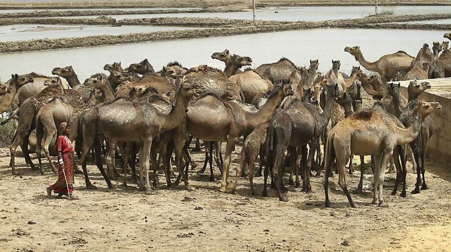 In this Wednesday, April 17, 2013 photo, an Indian girl walks past a herd of camels near salt pans on a highway in the Kutch district of Gujarat state, India.  (AP Photo/Ajit Solanki) Photo: Ajit Solanki, Associated Press