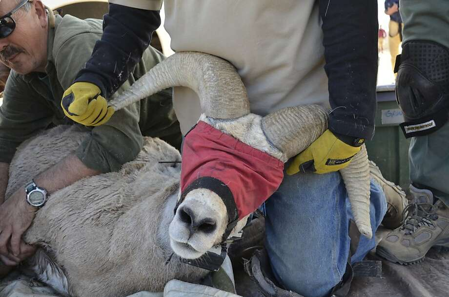 In this March 28, 2013, photo released by the California Department of Fish and Wildlife, state wildlife officials preparing to release a new a bighorn sheep near Olancha Park, Calif. The California Department of Fish and Wildlife announced Wednesday April 18,2013  that 10 female and four male bighorn sheep were established last month as the first new herd at the southern end of the Sierra Nevada in 25 years. (AP Photo/Andrew Hughan, California Department of Fish and Wildlife) Photo: Andrew Hughan, Associated Press