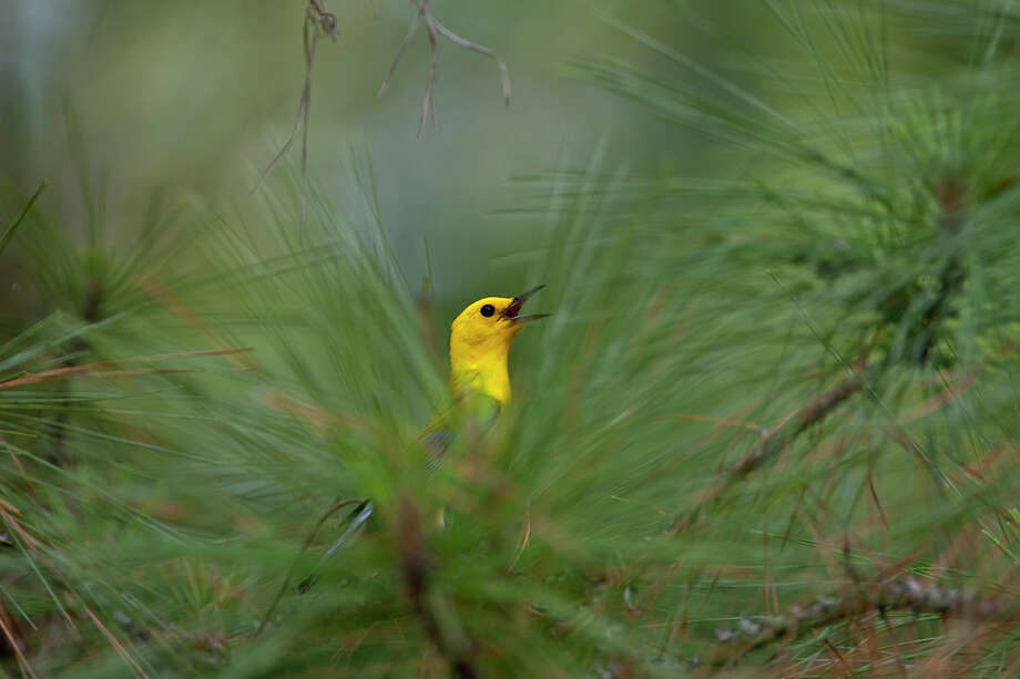 Prothonotary warblers are moving through the eastern half of Texas this spring. Many will stay in the area to nest in swampy areas or river bottoms.  Photo Credit:  Kathy Adams Clark.  Restricted use. Photo: Kathy Adams Clark / Kathy Adams Clark/KAC Productions