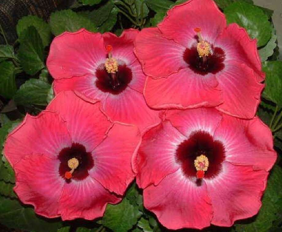 The spectacular 'Rum Runner' will be among the hibiscus available at the Lone Star Chapter, AHS sales.