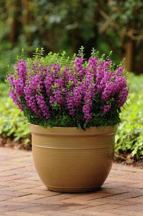 Archangel 'Raspberry' angelonia. Burpee Home Gardens photo. Photo: Burpee Home Gardens