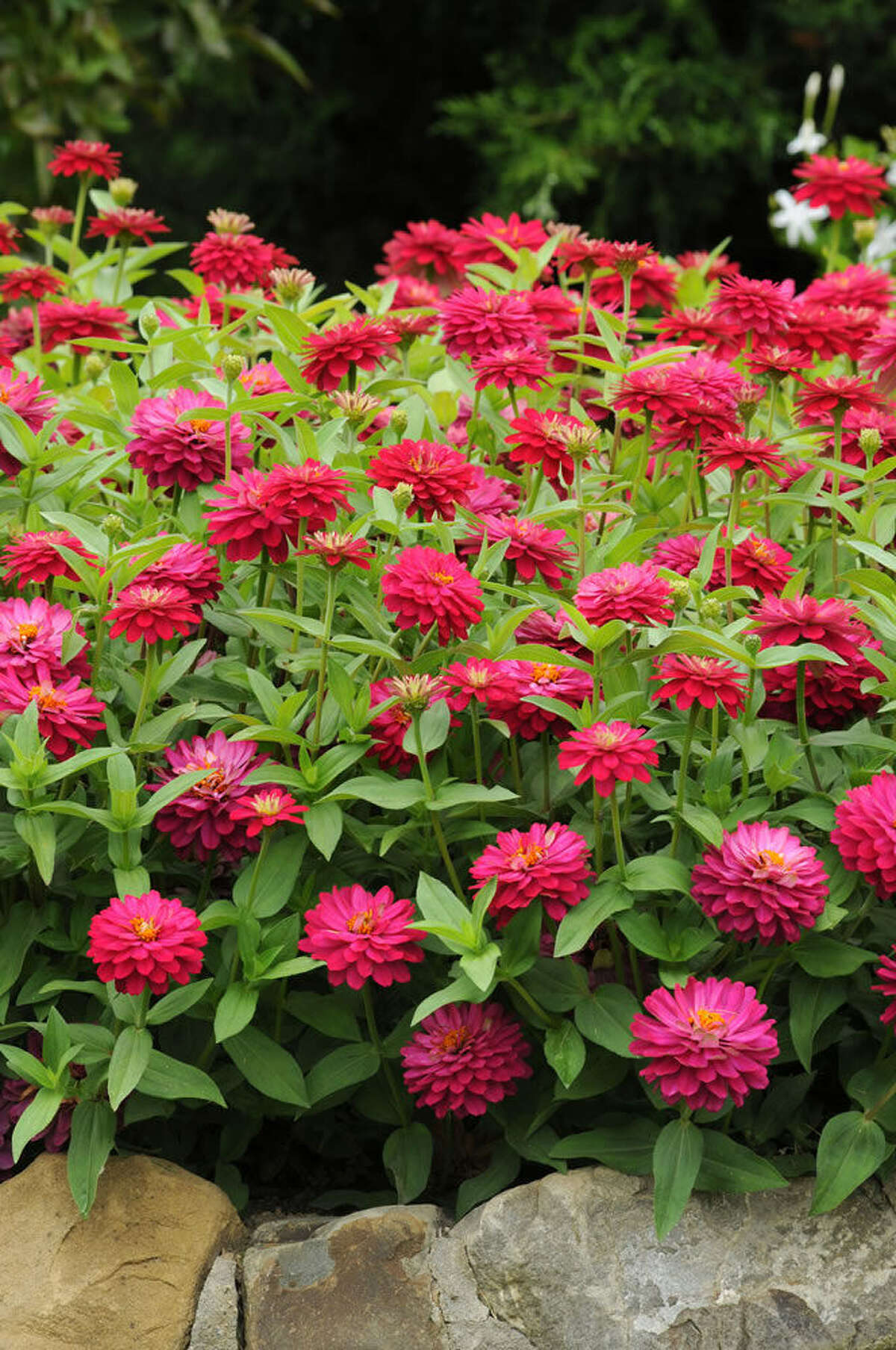 Zinnias, such as Double Zahara cherry, tolerate heat but they are not xeriscape plants and need water a few times a week.
