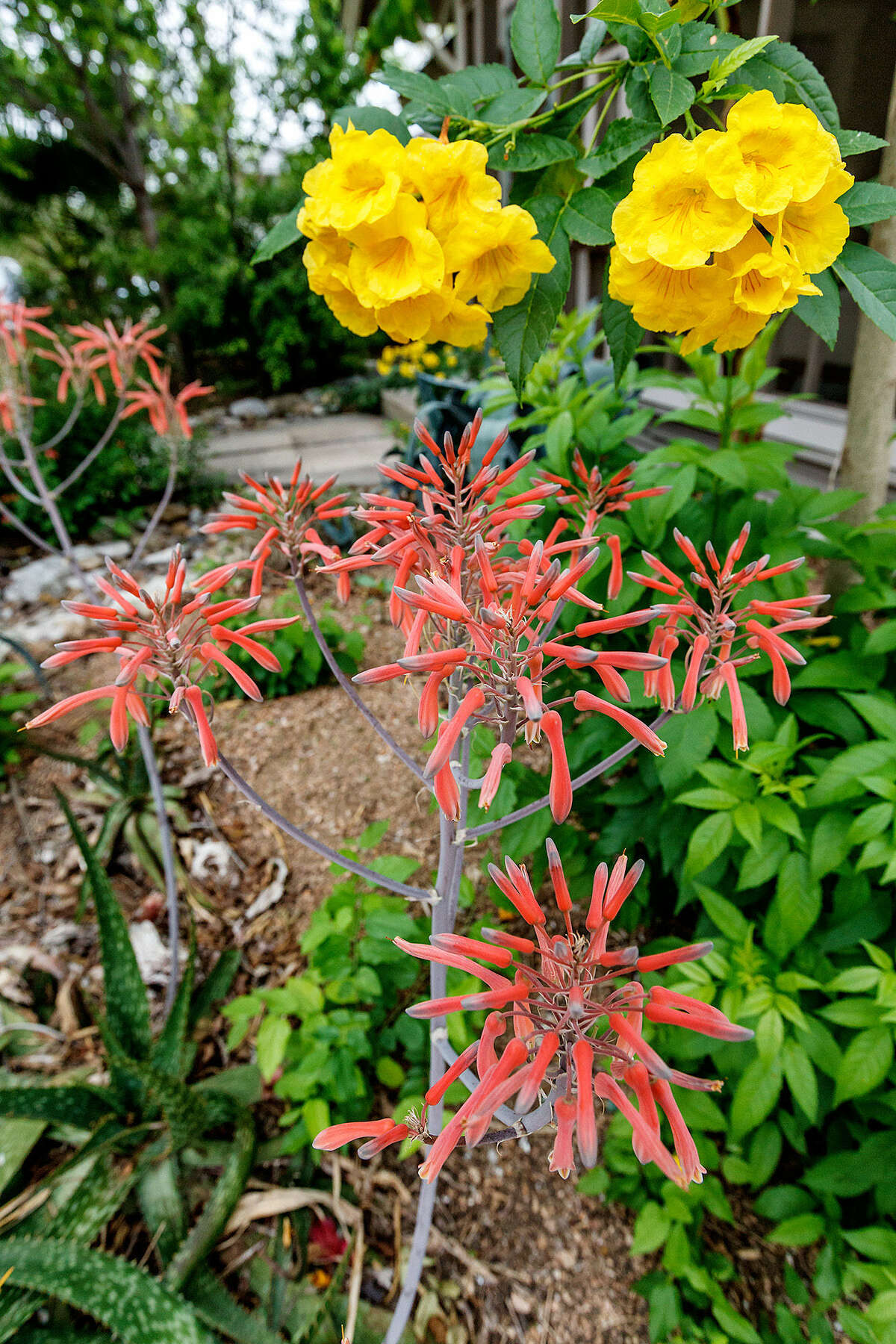 Coral-colored blooms from an aloe plant complement yellow esperanzas at Clark's home.