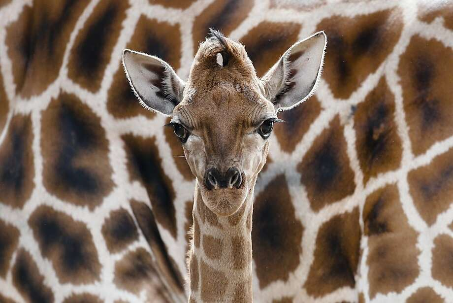 Hiding in plain sight: Eric the newborn Rothschild giraffe blends in with his mother, Lotti's torso at Tierpark Zoo in Berlin. Photo: Markus Schreiber, Associated Press