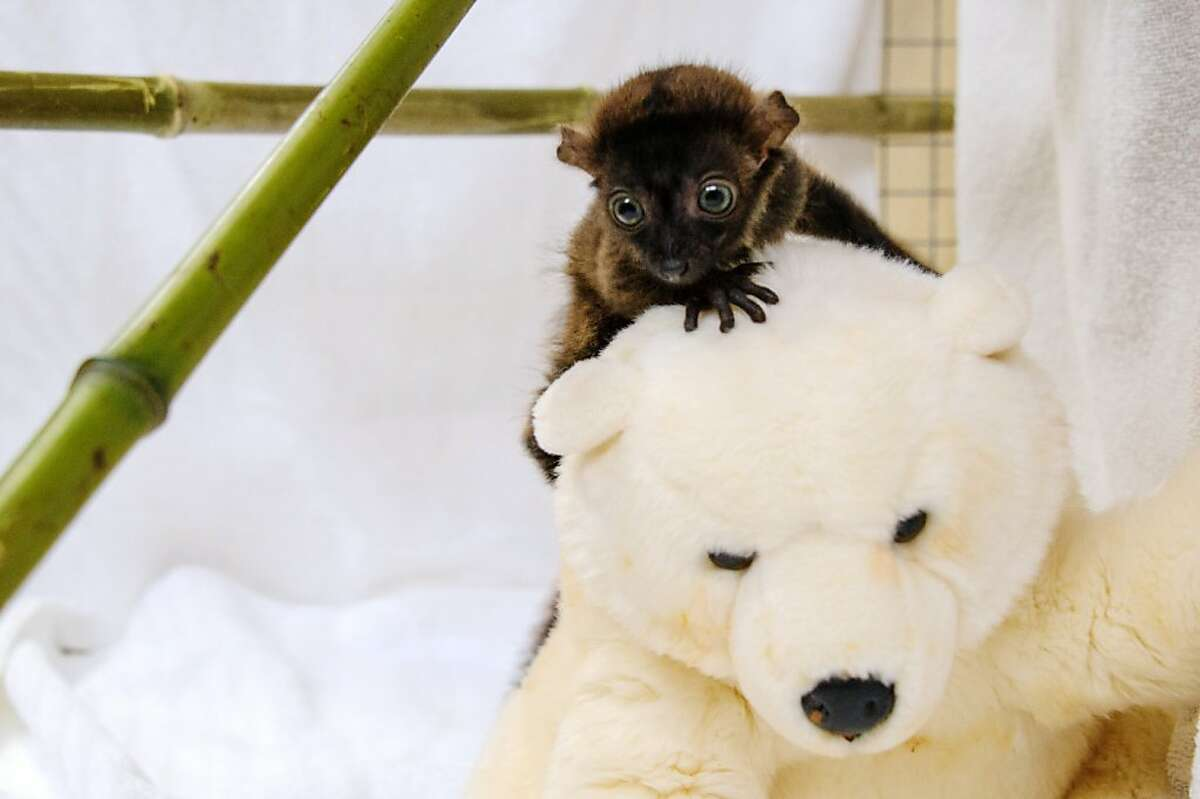 Um, help? Dimbi decides he's climbed high enough on Mt. Polarbearest for one day.Dimbi is a blue-eyed black lemur cub. There are currently fewer than 2000 blue-eyed black lemurs in the wild.