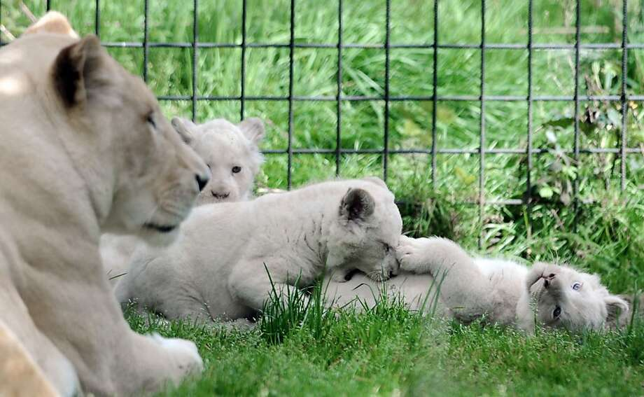 The soft underbelly is the best part! A white lion cub chews the fat with a sibling as their mother, Sweleka, watches at the zoo in Pont-Scorff, France. Photo: Fred Tanneau, AFP/Getty Images