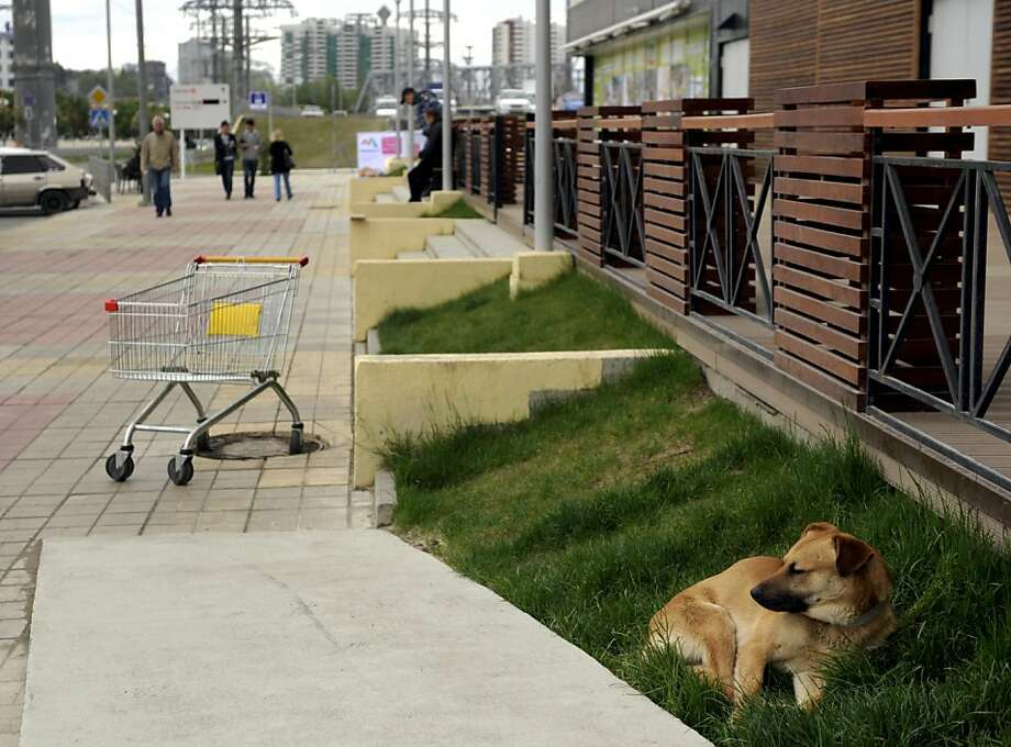 To improve its image, Olympic city Sochi will slaughter puppies and kittens: The host city of the 2014 Olympics announced a plan to exterminate more than 2,000 stray dogs (like this one) and cats ahead of the Games next year. The strays will be killed to ensure the safety of visitors and improve the city's image, said Sergei Krivonosov, a city official. Photo: Mikhail Mordasov, AFP/Getty Images