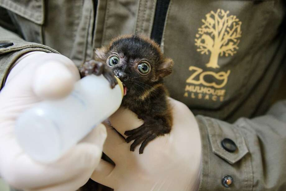 A vanishing breed: Dimbi gulps down his milk at the zoo in Mulhouse, France. There are fewer than 2,000 blue-eyed black lemurs in the wild. Photo: Sebastien Bozon, AFP/Getty Images