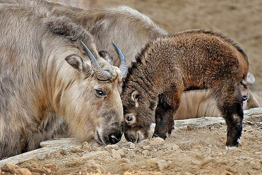 Like hockey players bumping heads with a goalie, a young Sichuan takin knocks noggins with its elder at the Los Angeles Zoo. Photo: Associated Press
