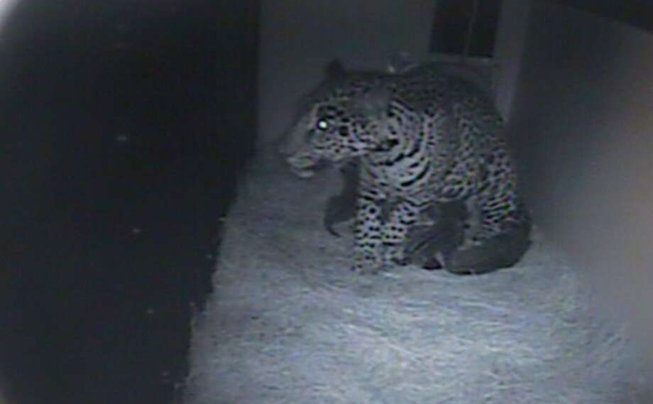 Jaguar triplets were born over weekend (March 23) at the Woodland Park Zoo. Here is a still image captured from internal monitoring cam on Monday, March 25, three days after birth.
