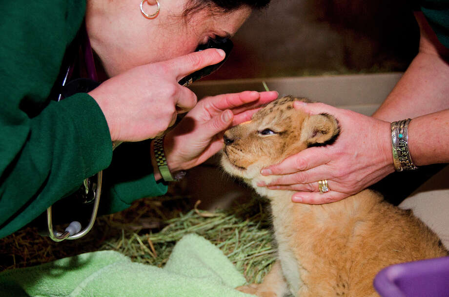 (Following are the baby zoo animals we love from earlier last year and years past.)  Everything looks good for the four lion cubs born at the Woodland Park Zoo. The quadruplets just got a checkup. Photo by Ryan Hawk. Photo: Ryan Hawk / ©Ryan Hawk 2012