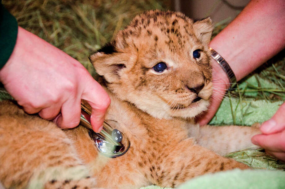 The cubs, born Nov. 8, weigh between 8 and 9 pounds. Photo by Ryan Hawk. Photo: Ryan Hawk / ©Ryan Hawk 2012