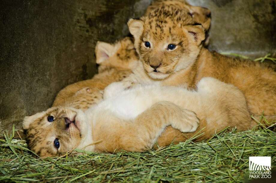 These 3-week-old lion cubs were born on Nov. 8 at the Woodland Park Zoo to lioness Adia and lion-dad Hubert. (Photo: Ryan Hawk/Woodland Park Zoo).