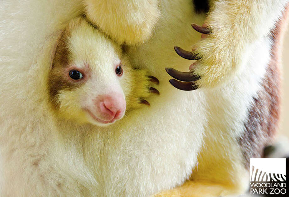 A baby (or joey) wallaroo born at the Woodland Park Zoo. Mother Alanna and joey are pretty good at acting adorable.